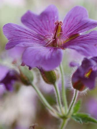 lila: lila geranium flower
