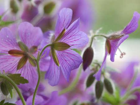 lila: fine geranium flowers, close up Stock Photo