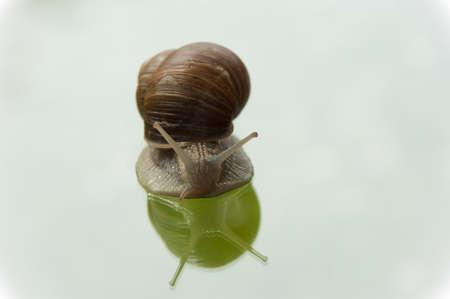 apple snail: living apple snail crawling  on glass plate
