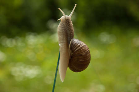 apple snail: living outstretched snail Stock Photo
