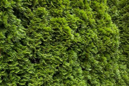 close p: thuja hedge