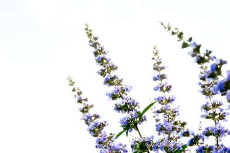 acuminate: reaching blue flowers