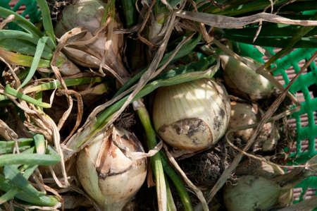 onions: wild onions Stock Photo