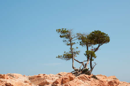 enthroned: pine tree on red rocks in Corsica Stock Photo