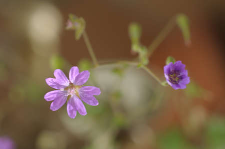 emergence: Emergence of cranesbill flower