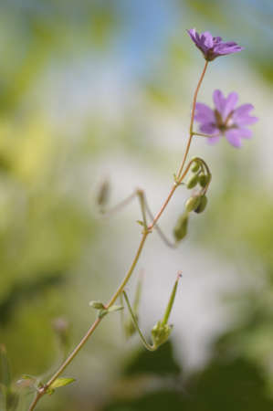 close p: cranesbill flower blossoms and seed heads Stock Photo