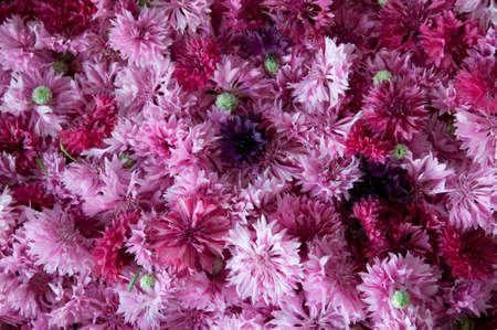 fiordaliso: rosa fiori di fiordaliso