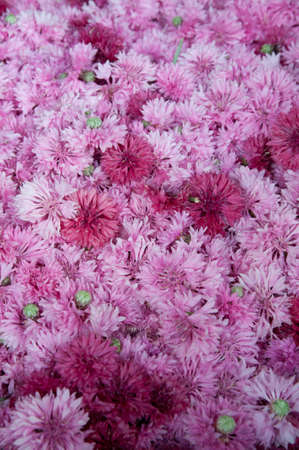 cornflower: pink cornflower blossoms