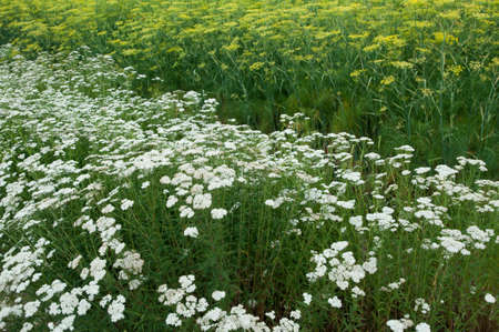 yarrow: Dill and yarrow crops