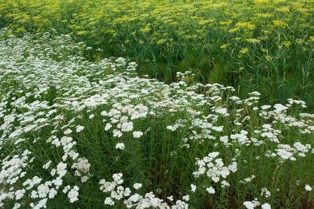 yarrow: Dill and yarrow plants Stock Photo