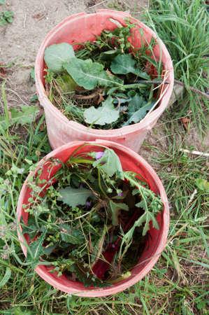 weeds: bucketful of weeds