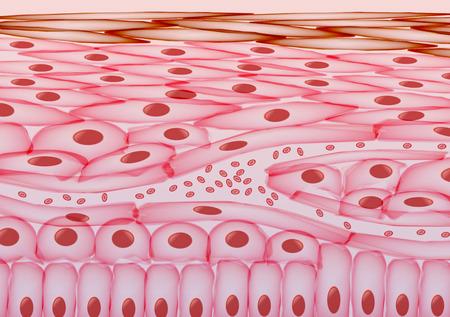 Blood in veins Under Skin Cells, Layers - Vector Illustration