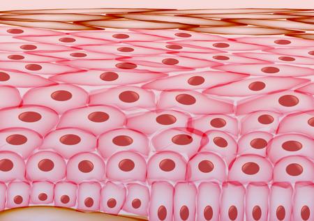 exfoliation: Skin Cells, Layers - Vector Illustration Illustration