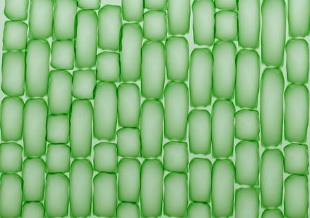 stomata: Plant Cells,Tissue Pattern - Vector Illustration Illustration