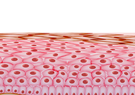 dermis: Skin Cells, Layers on White Background - Vector Illustration