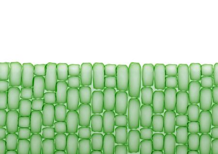 stomata: Plant Cells,Tissue Pattern on White Background - Vector Illustration