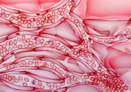 vasos sanguineos: Los vasos sanguíneos, venas y las arterias - Ilustración