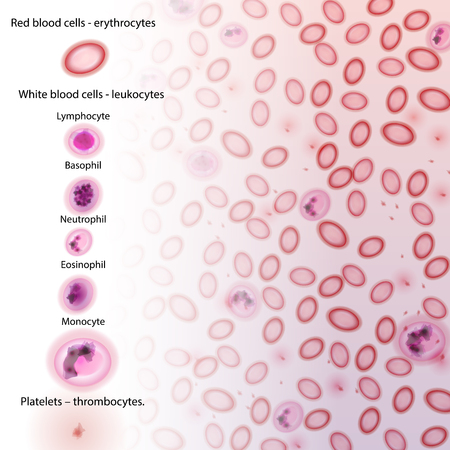 antigen response: Blood Cell Type Descriptions - Illustration Illustration