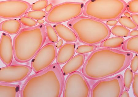 Adipose tissue, Fat Cells, Adipocytes - Vector Illustration Çizim