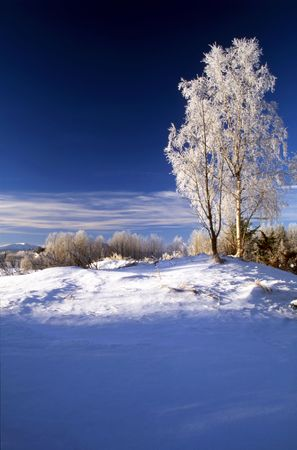 snowy field: Frosted trees in January Stock Photo