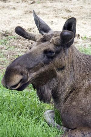 Closeup of a moose head  photo