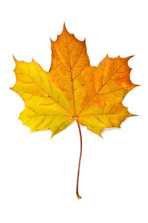 Hoja de arce de otoño amarillo aislado sobre fondo blanco