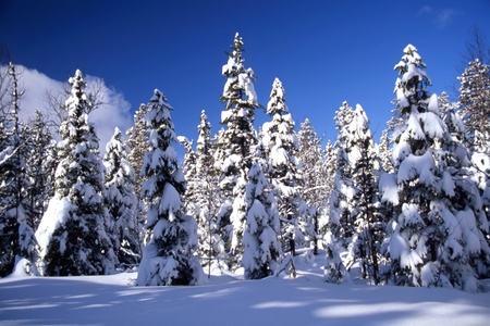 no snow: Snowy trees in forest in sunshine and with blue sky
