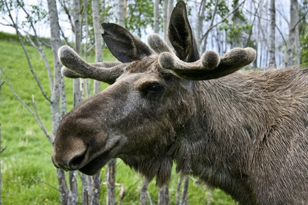 Closeup of a moose head   Stock Photo