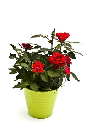 Fresh mini red roses in green bucket photo