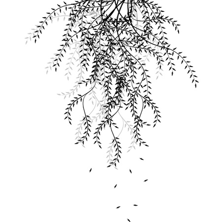 willow tree: Branch of willow isolated on white background