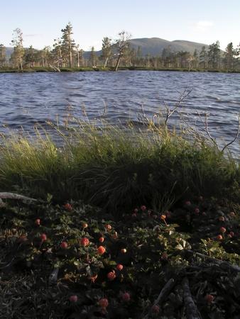 rubus chamaemorus: Naturaleza paisaje de mora de los pantanos y el lago