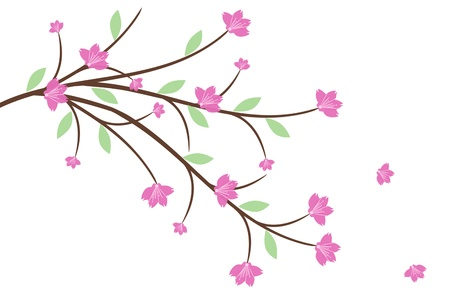 Beautiful cherry blossom isolated on white background photo