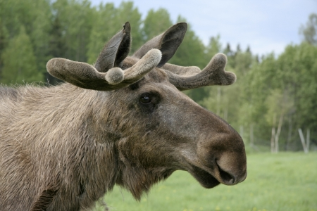 big moose: Moose in the forest in Sweden Stock Photo