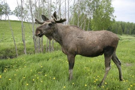 スウェーデンの森林のムース