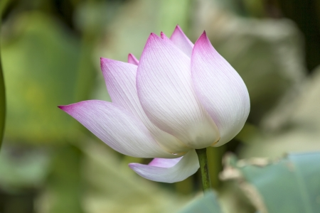 Lotus flower closeup in the lake photo