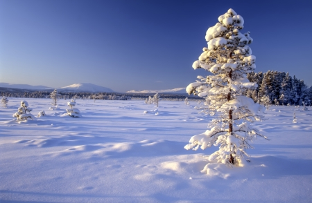 Beautiful winter landscape of snowy tree in sweden photo