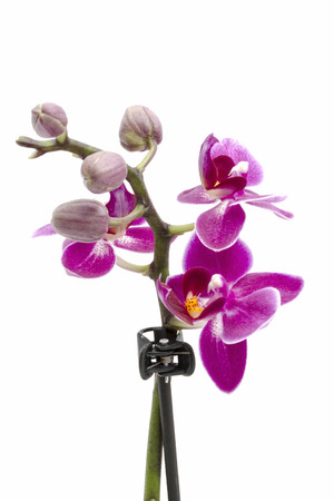 Mini orchid isolated on white background  photo