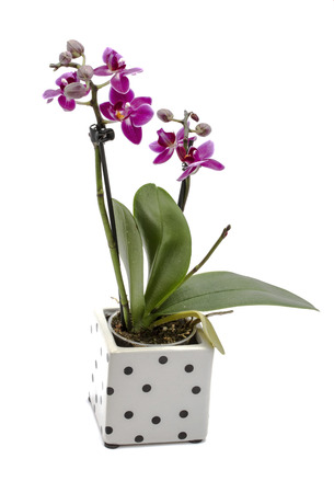 Mini orchid isolated on white background