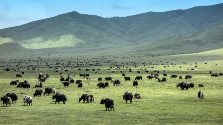 Tibetan Yaks in the grassland,sichuan , china  photo