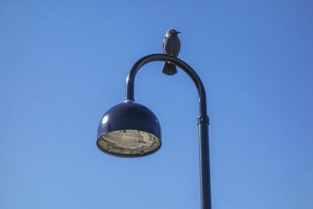 jackdaw: Jackdaw standing on the street light Stock Photo