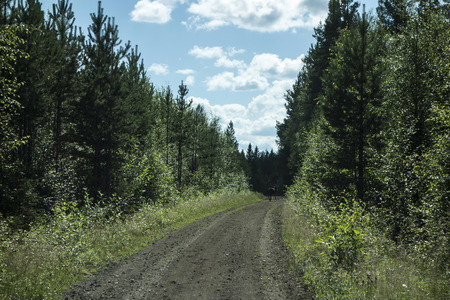 rein: A wild rein deer in the forest, Sweden