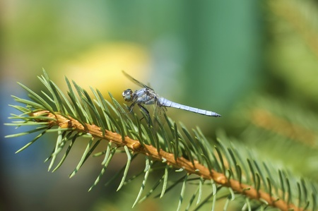 Dragonfly sitting on the branch of a spruce tree photo