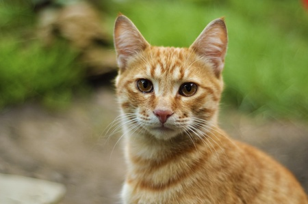 Close-up of the red cat on the green nature background Stock Photo - 8464017