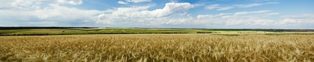 Panoramic view of a wheat field photo