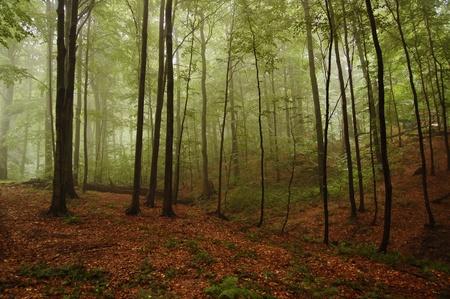 buche: Blick auf den Berg-Buchenwald im Nebel