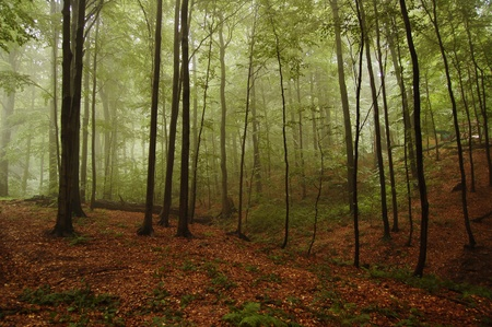 View of the mountain beech forest in the fog