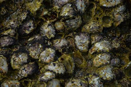shellfish: shellfish on the reef