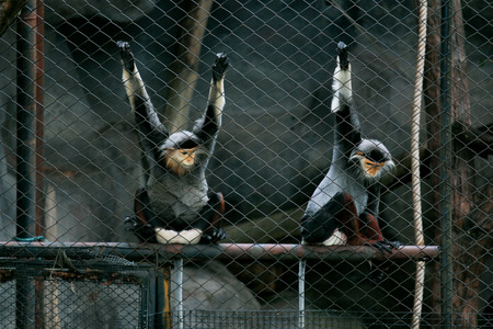 macaque: The macaque