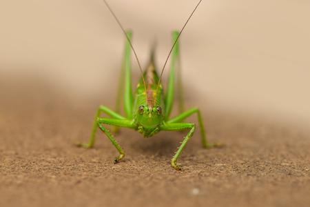 Les criquets sont une espèce de sauterelles à petites cornes, qui ont une phase d'essaimage. En cas de sécheresse, les criquets se déplacent rapidement et causent des dommages aux cultures.