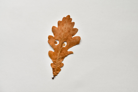 Animated funny oak autumn leaves on white background. Emotional leaves. Stock Photo